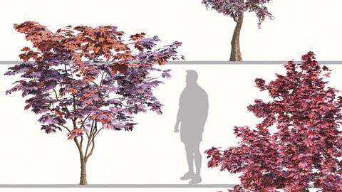 Set of Japanese maple Trees (Palmate Maple) (2 Trees)