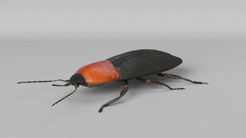 Cardiophorus Gramineus Beetle