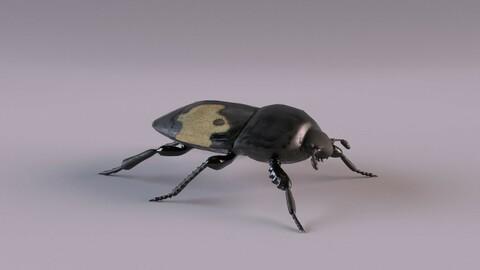 Saprinus interruptus beetle