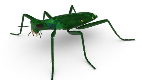 Six-spotted tiger beetle(Cicindela sexguttata)