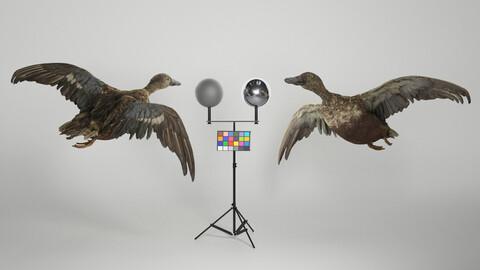 Flying duck 06