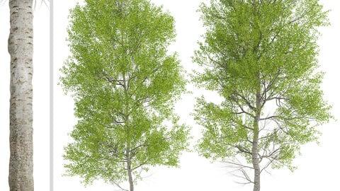 Set of European aspen Trees (Populus tremula) (2 Trees)