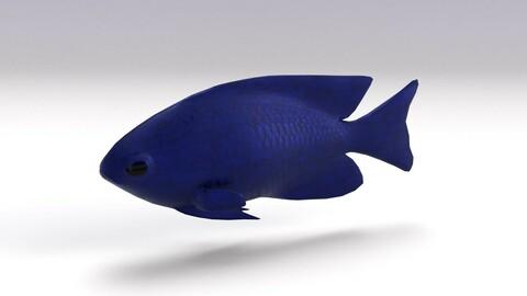 Blue Damselfish