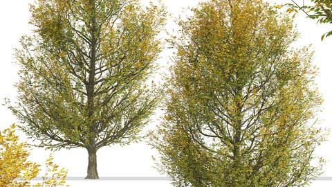 Set of European hornbeam Trees (Carpinus betulus) (2 Trees)