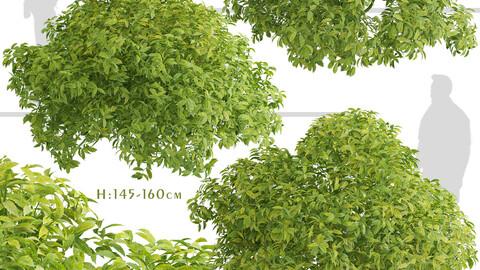 Set of Aucuba japonica Shrubs (Japanese laurel) (3 Shrubs)