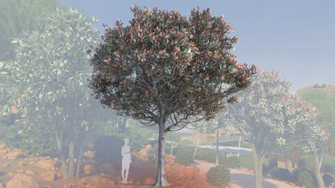 3d models of a mature bronze loquat tree eriobotrya deflexa