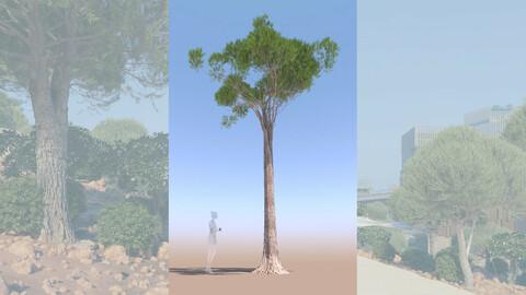 3D tree pinus pinea stone pine adult d