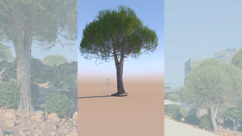 3D tree pinus pinea stone pine mature a