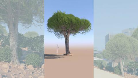 3D tree pinus pinea stone pine mature b