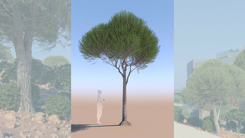 3D tree pinus pinea stone pine young b