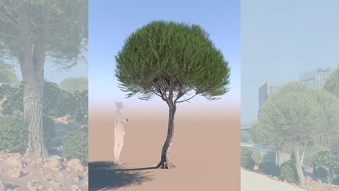 3D tree pinus pinea stone pine young c