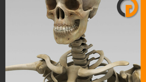 Human Textured Skeleton - Anatomy