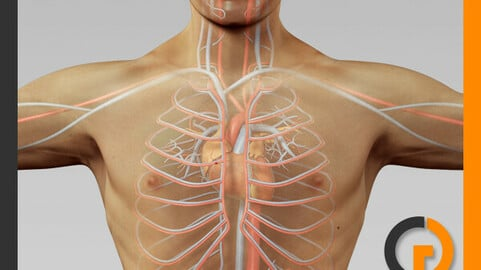 Human Male Body and Circulatory System - Anatomy