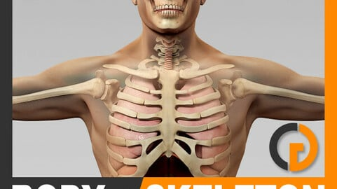 Human Male Body, Respiratory System and Skeleton - Anatomy