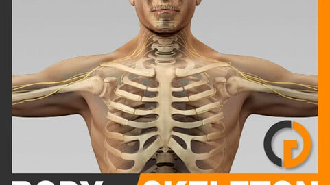 Human Male Body, Nervous System and Skeleton - Anatomy