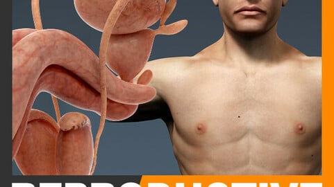 Human Male Body, Urinary and Reproductive System Textured - Anatomy