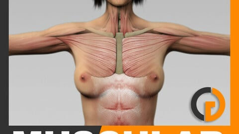 Human Female Body and Muscular System - Anatomy