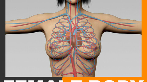 Human Female Body and Circulatory System - Anatomy
