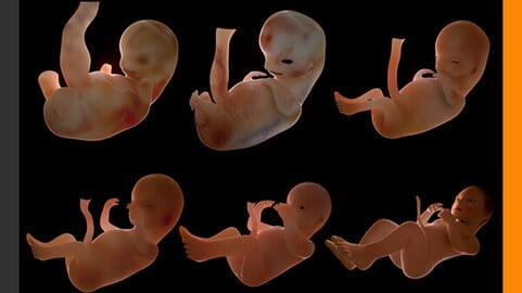 Human Fetus and Embryo Development