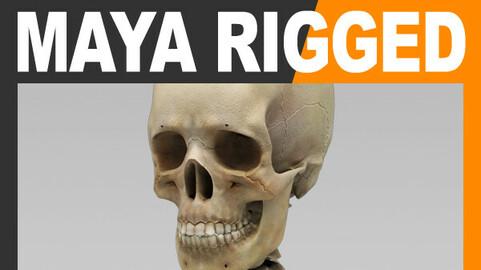 Human Skeleton - Maya Rigged