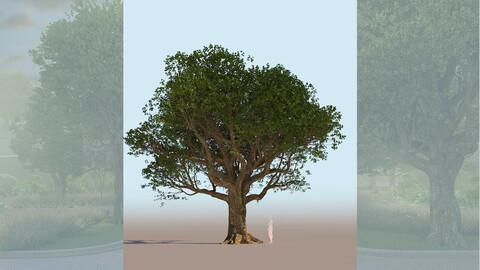 quercus agrifolia coast live oak quercus agrifolia mature a