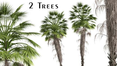 Set of Mexican fan palm Trees (Washingtonia robusta) (2 Trees)