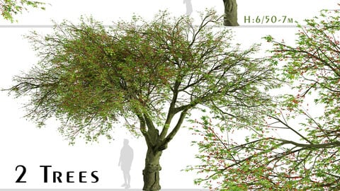 Set of Brachychiton acerifolius Trees (Flame bottletree) (2 Trees)
