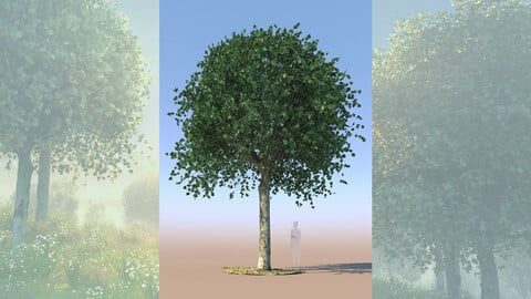 maple acer 3D tree mature a