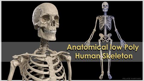 Anatomical High Quality low poly Human Skeleton