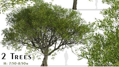 Set of Acacia melanoxylon Trees (Australian blackwood) (2 Trees)