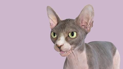 Sphynx Cat Bicolor