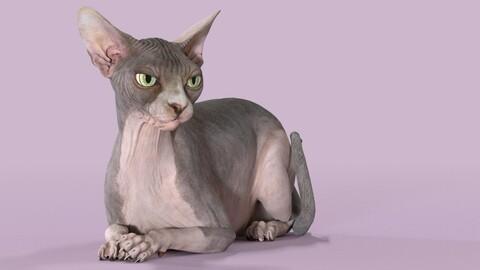 Sphynx Cat Bicolor Rigged
