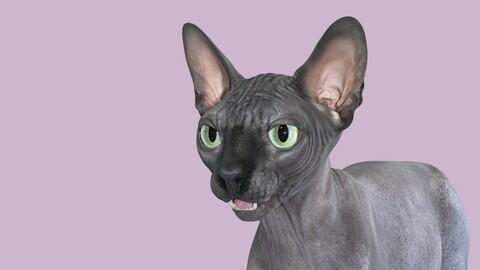 Sphynx Cat Black