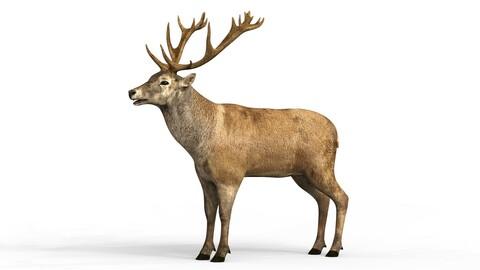 Swamp Deer 3D Model