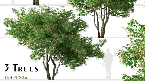Set of Acer tataricum Trees (Tatarian maple) (2 Trees)