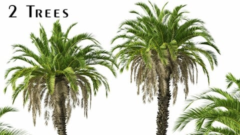 Set of Canary Island date palm Trees (Phoenix canariensis) (2 Trees)