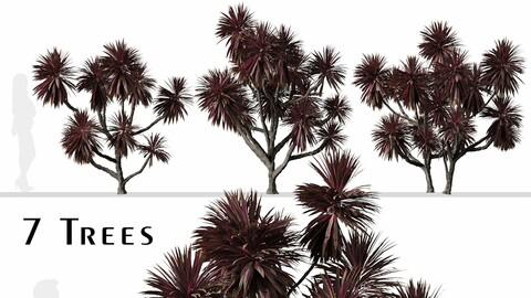 Set of Cordyline australis Trees (Cabbage Tree) (7 Trees)