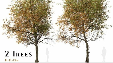 Set of Liquidambar formosana Trees (Formosan gum) (2 Trees)