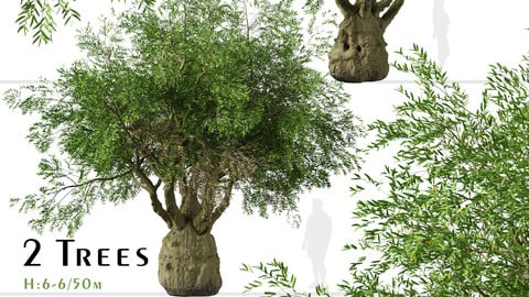 Set of brachychiton Rupestris Trees (Queensland bottle) (2 Trees)