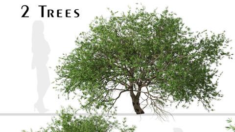 Set of Larix kaempferi Trees (Japanese larch) (2 Trees)