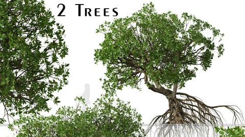 Set of Rhizophora apiculata Trees (Mangrove) (2 Trees)