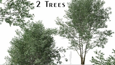 Set of Downy Birch Trees (Betula pubescens) (2 Trees)