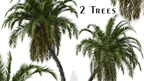 Set of Phoenix reclinata Trees (Senegal date palm) (2 Trees)