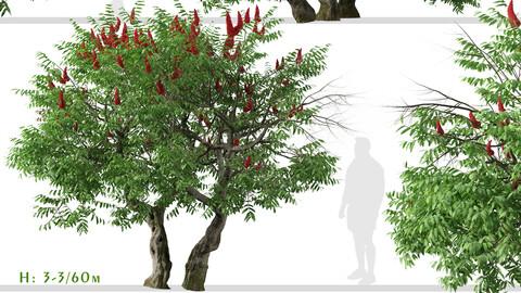 Set of Rhus typhina Trees (Staghorn sumac) (2 Trees)