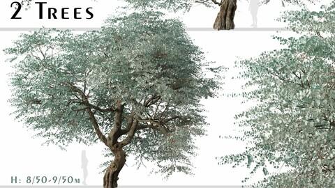 Set of Eucalyptus cinerea Tree (Argyle apple) (2 Trees)