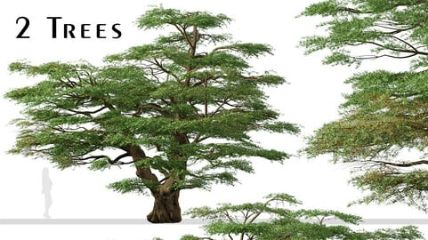 Set of Lebanon Cedar Tree (Cedrus libani) (2 Trees)