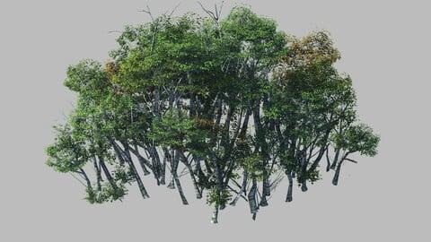 Plant Forest - Birch Grove 01