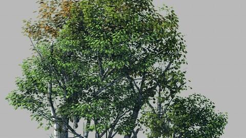 Plant Forest - Birch Grove 03
