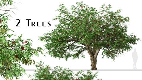 Set of Rowan Tree (Mountain Ash) (2 Trees)