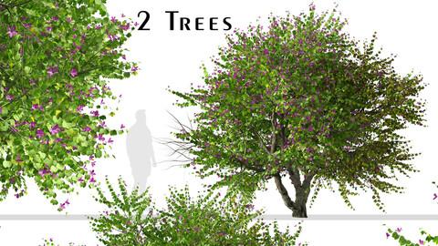 Set of Bauhinia purpurea Tree (Orchid tree) (2 Trees)